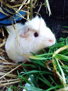 cochon d'inde blanc